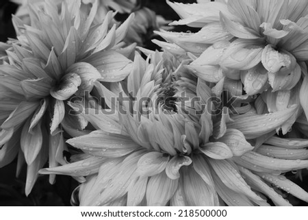 Dahlia with water drops in black and white color - stock photo