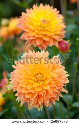 Dahlia yellow and orange flowers in garden full bloom - stock photo