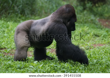 Daily Activity of Silverback Gorilla