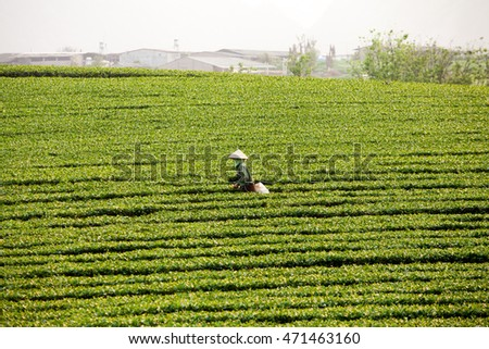 Daily life in Vietnam. Farmer collecting tea leave in the terraced tea fields at Moc Chau Highland on June 4, 2016. Tea is traditional drink in some coutry at asia as vietnam, china, korea, japan...