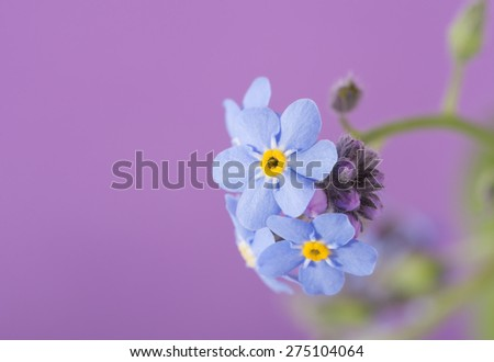 Dainty blue Forget-me-not flower on purple background - stock photo