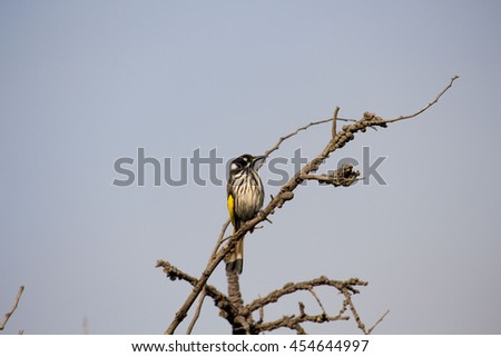 Dainty chirpy  yellow and black striped  Australian New Holland Honey eater perched in a  bare wattle tree on a sunny morning in early winter.