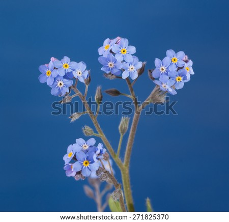 Dainty Forget-me-not flowers against blue background - stock photo