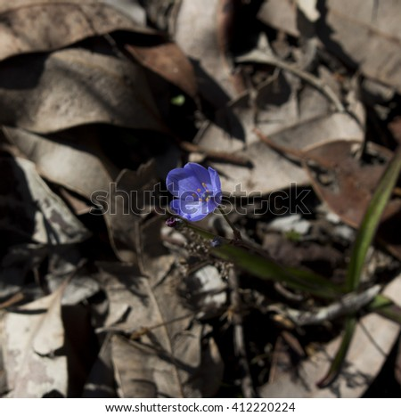 Dainty little blue squill orchid chamaescilla corymbosa blooming amongst leaf litter  in late winter in the  Crooked Brook National Park, South Western Australia. - stock photo