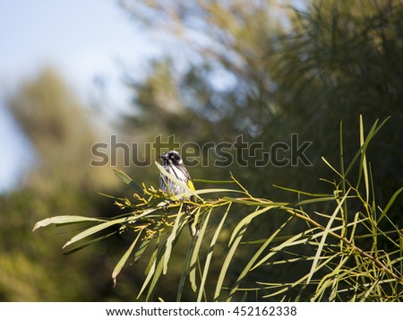 Dainty little juvenile  Australian  New Holland honey eater phylidonyris novaehollandiae is perched in  a  wattle tree  on a fine sunny winter afternoon in Big Swamp Bunbury Western Australia. - stock photo