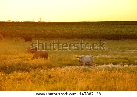 dairy cattle grazing on farm in front of corn crop - stock photo