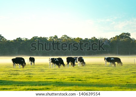 dairy cattle in foggy morning on Australian farm - stock photo