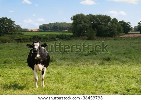 Dairy cow facing forward in lush green meadow with farmland in background - stock photo