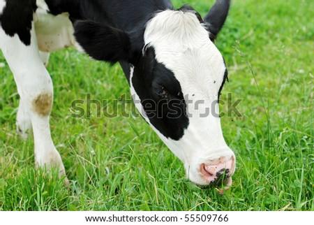 dairy cow grazing - stock photo