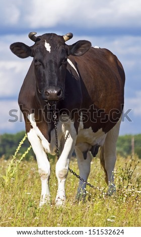 dairy cow grazing in a field - stock photo