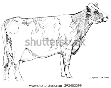 Dairy cow pencil sketch animal farm ayrshire breed