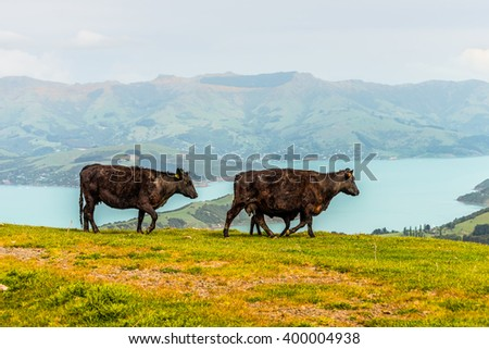 Dairy cows and calf walking along the hill and rural landscape, Otago region, South Island, New Zealand - stock photo