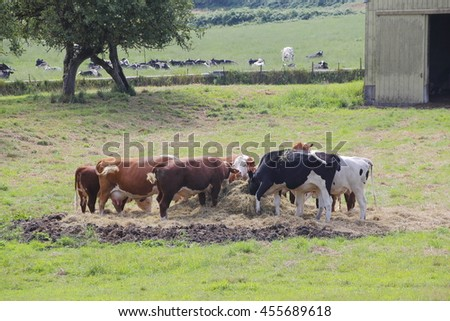 Dairy cows are fed bales of hay while others graze in the pasture/Specific Diet for Herd/Dairy cows are fed bales of hay while others graze in the pasture.  - stock photo