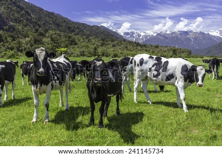 dairy cows grazing in a field with New Zealand mountain in the distance - stock photo