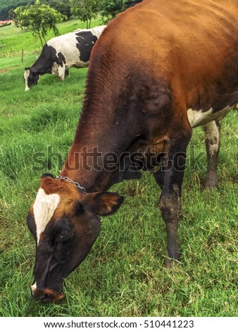 Dairy cows in beautiful green grass pasture farm scene