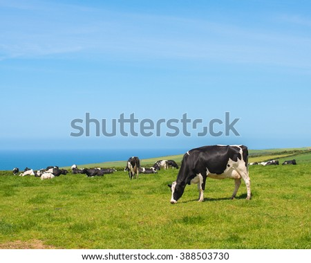 Dairy cows in lush pasture in Cornwall, UK with blue ocean in background - stock photo