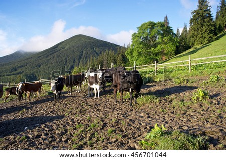 Dairy cows in paddock eating fresh grass under the blue sky - stock photo
