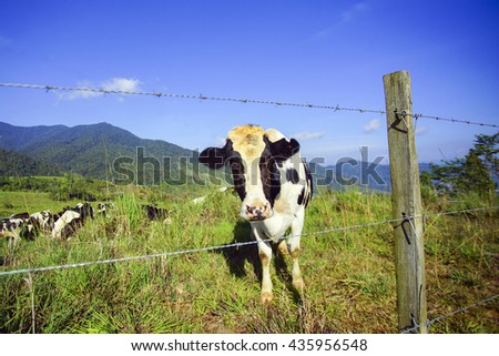 Dairy cows in paddock eating fresh grass under the blue sky, New Zealand - stock photo