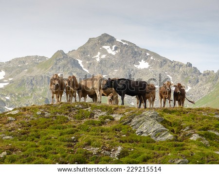 Dairy cows on the mountain - stock photo