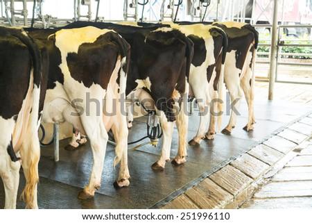 Dairy milking cow machine produce fresh milk to customer - stock photo