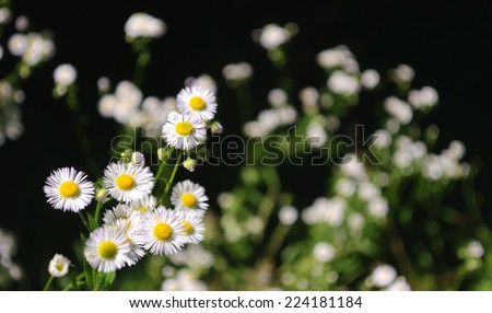 daisies - stock photo