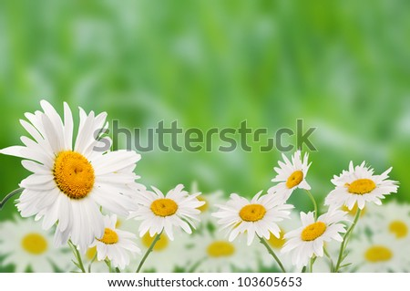 Daisies against a background of green grass.