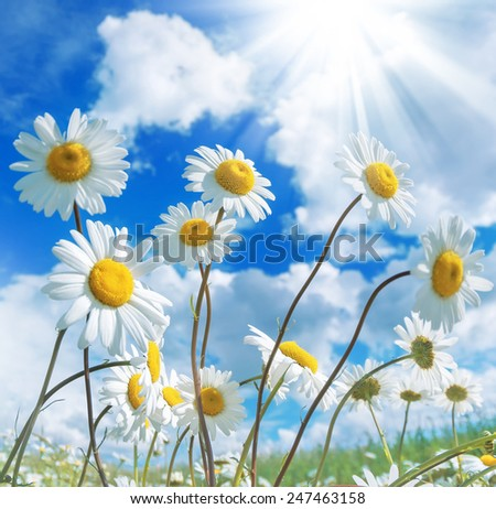 Daisies against a beautiful sky with clouds - stock photo