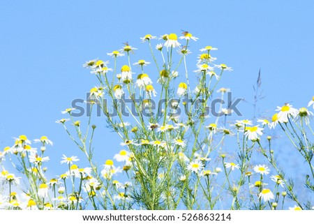 Daisies against Blue Sky in Spring.