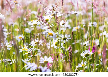 Daisies and wildflowers meadow bright blooming  - stock photo