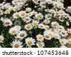 Daisies bloom from spring till fall, making them a favorite perennial in any garden.  They make beautiful cut flowers too. - stock photo