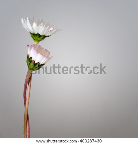 Daisies entwined over soft grey background. Support, compassion, love concept.  With copy space. - stock photo