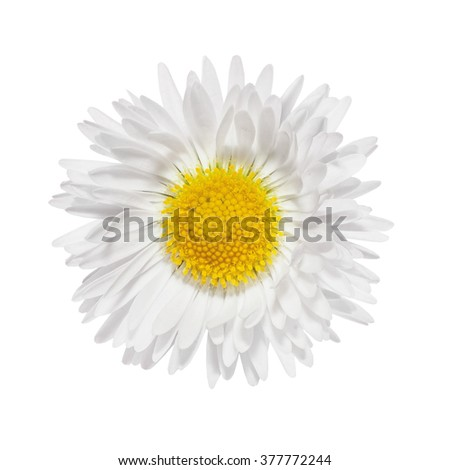 Daisies flower head camomile isolated on white background - stock photo