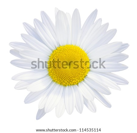 Daisies flower head isolated on white background - stock photo