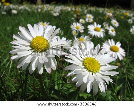 daisies,  flowers in a green meadow - spring,  bellis perennis,
