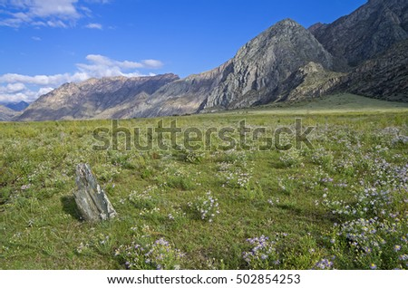 Daisies in a mountain meadow. Valley of Katun river. Altai Mountains, Russia. Sunny summer day.