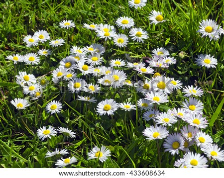 Daisies in grass; background of wild daisies (Bellis Perennis) growing in grass  - stock photo