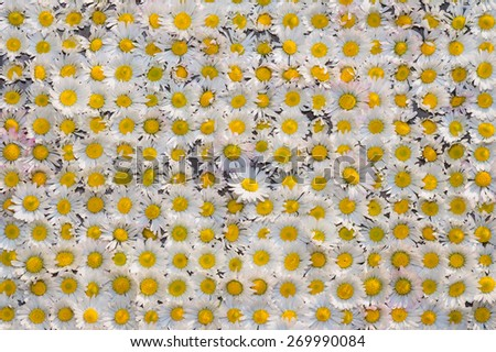 Daisies in the dam from the garden and placed on the table - stock photo