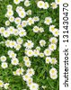 Daisies in the meadow at spring outside - stock photo