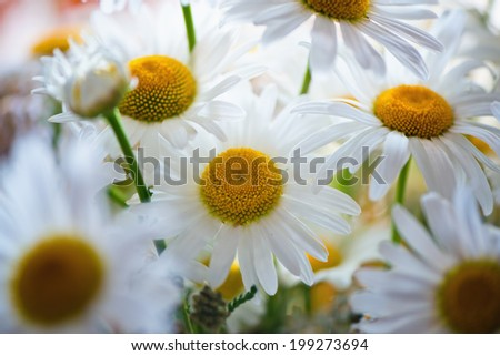 Daisies in the morning, selective focus - stock photo