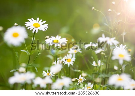 Daisies in the sun light. Summer flowers - daisy on green background  - stock photo
