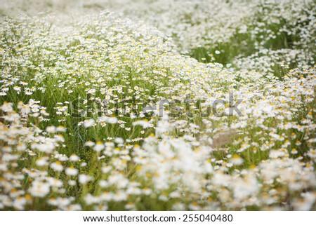 Daisies meadow - stock photo