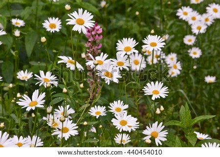 Daisies on a background lawn. Blooming daisies in early summer. - stock photo