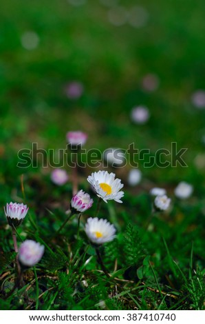 daisies on a meadow - stock photo