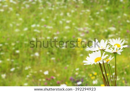 daisies on a summer meadow background blur