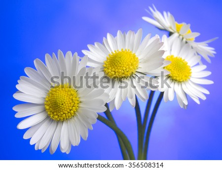 daisies on blue - stock photo