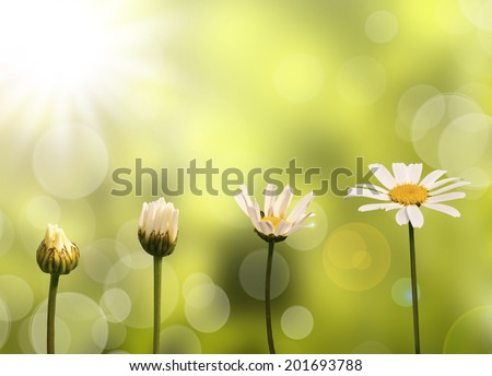 Daisies on green nature background, stages of growth - stock photo