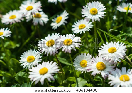 Daisies on spring background