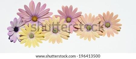 daisies panorama - stock photo