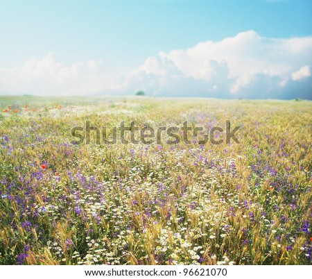 Daisies, poppies, cornflower and a lot of other summer flowers are blooming on this wheat field in summer.