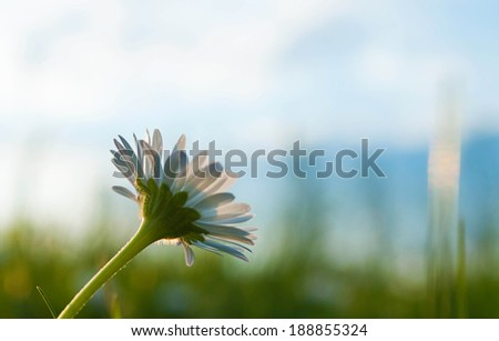 Daisy and blurred sky in the background - stock photo